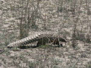 Pangolin MOZAMBIQUE